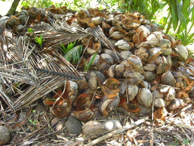 leere Kokosnussschalen